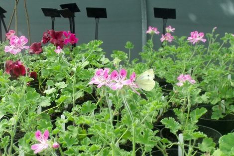 butterfly-pelargonium