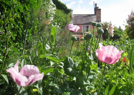 Self seeded foxglove, breadseed poppies, bronze fennel