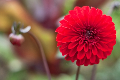 Dahlia-RHS-Writtle-College-Flowerona-4