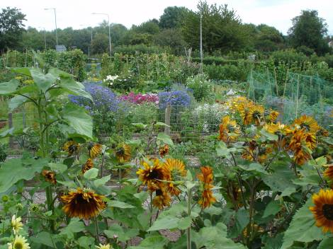 Flowers on my Allotment