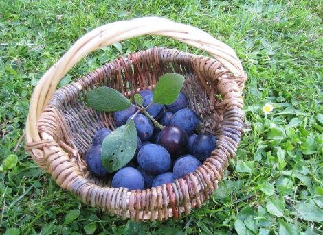 Wild Plums Foraged