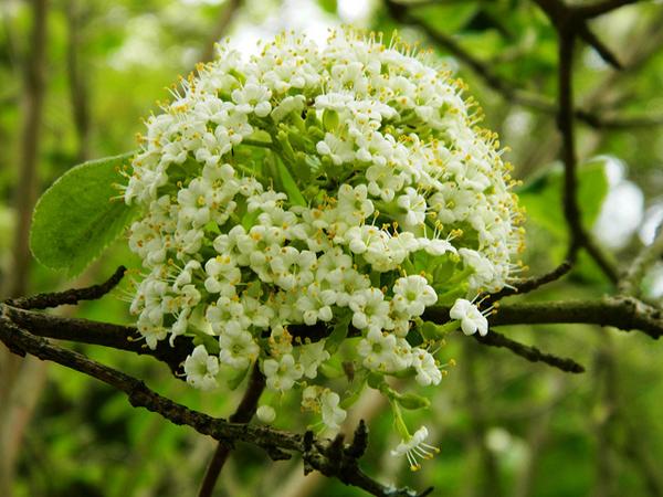 Viburnum-Tinus-Flickr-lilli2de