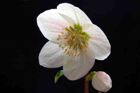Helleborus niger in dark