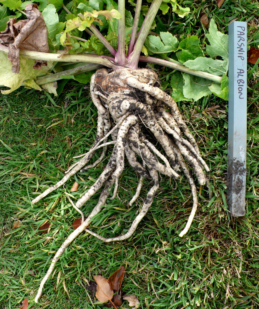 So many roots on a fanged parsnip