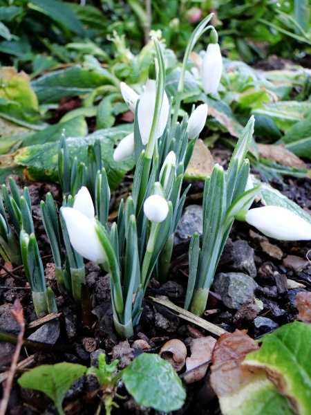 Snowdrops coming up
