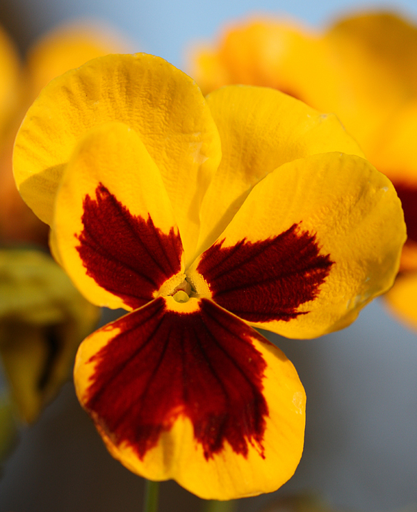 Flickr-Beadmobile-Pansy
