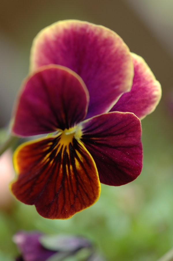 Flickr-cygnus921-pansy
