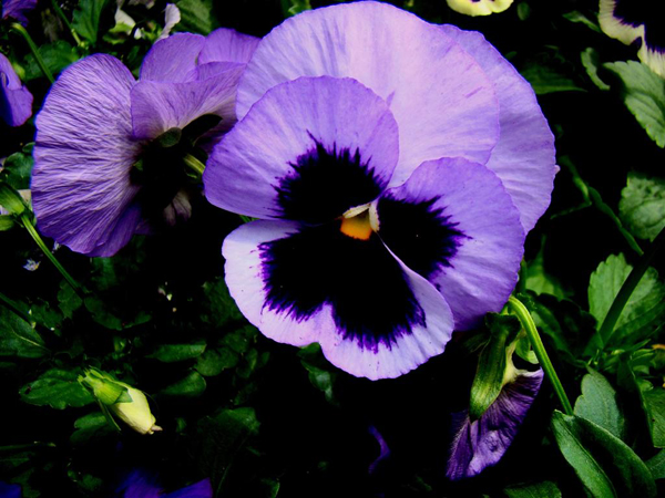 Flickr-Mr-Mac2009-Pansy