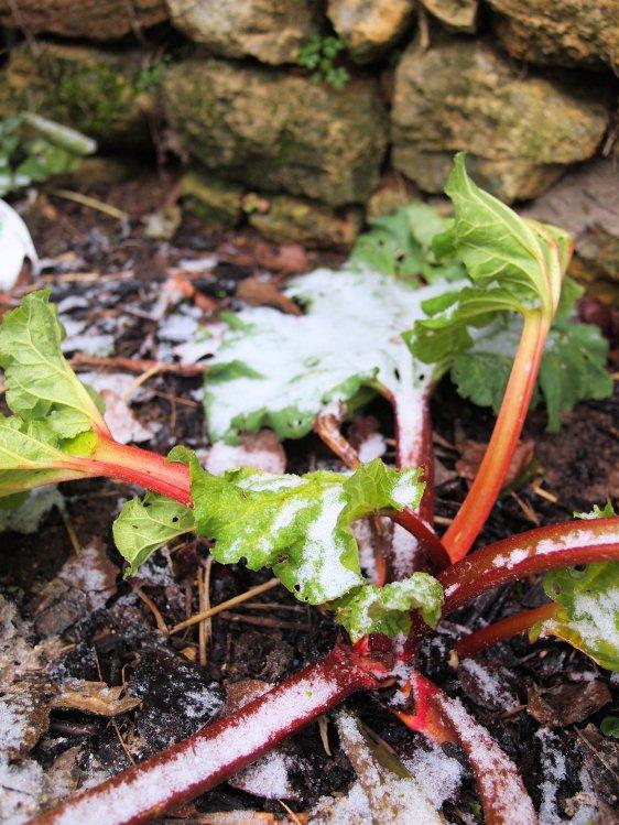 Frosty Rhubarb