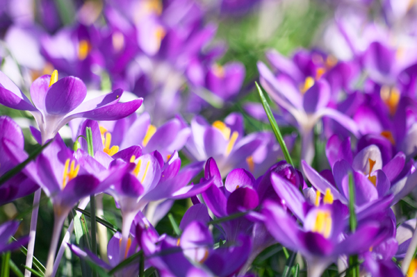 Crocus-Flickr-kh1234567890