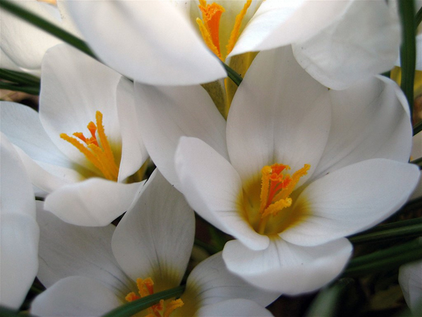 Crocus-Flickr-sloanpix