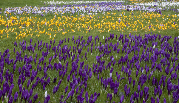 Crocuses-Flickr-ahisgett