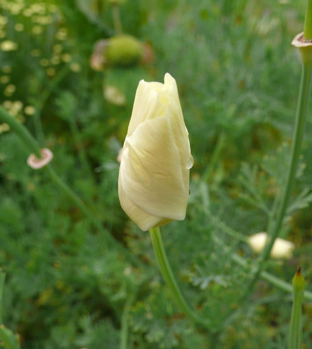 Flower vase pronunciation - Eschscholzia In Bud