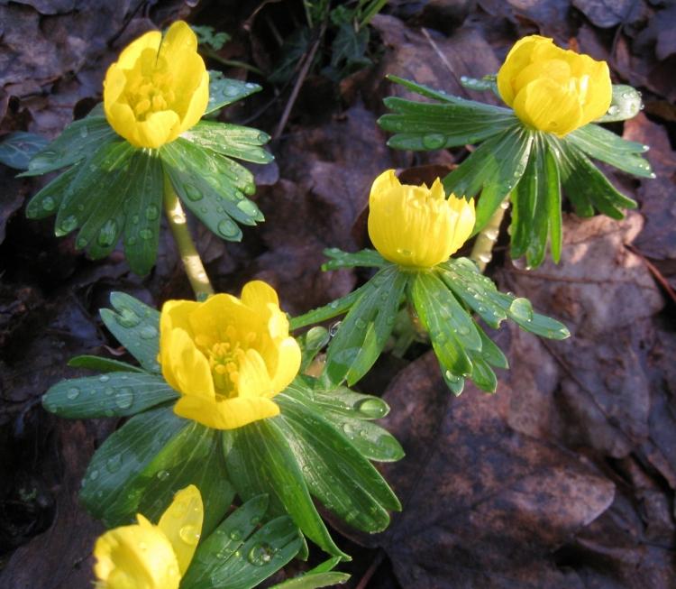 Yellow Aconites