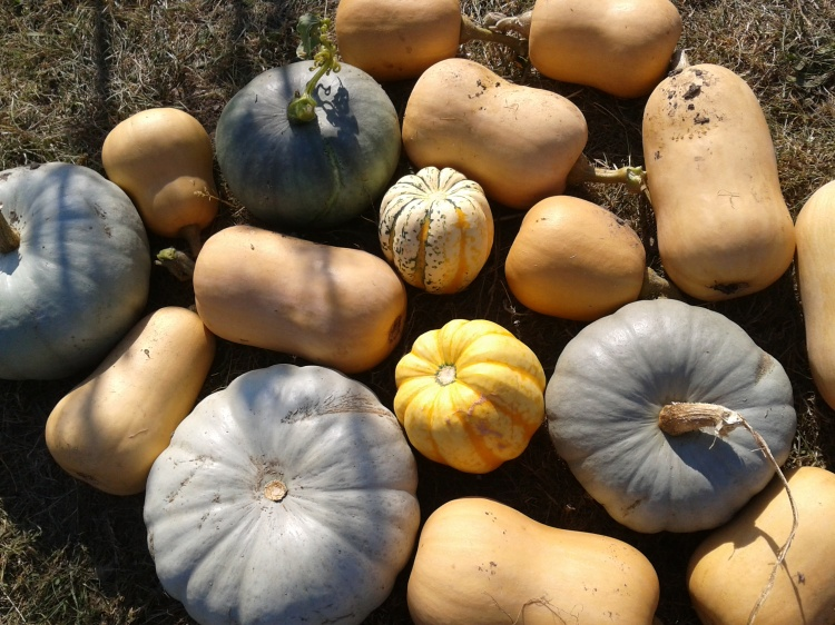 Variety of Squashes and Pumpkins