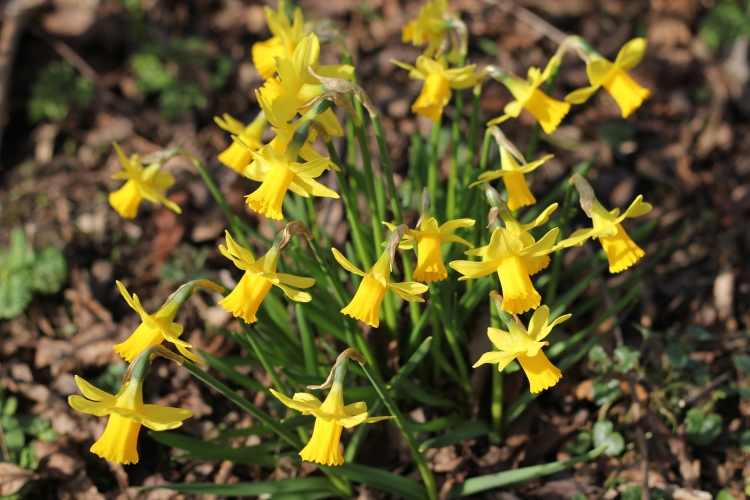 Sunshine Daffodils in Spring