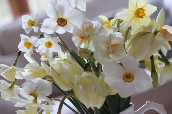 Beautiful daffodils in a jug