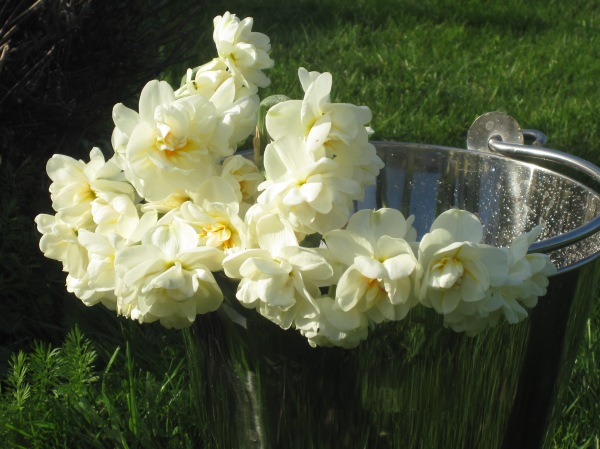 Double daffodils in a Sarah Raven bucket