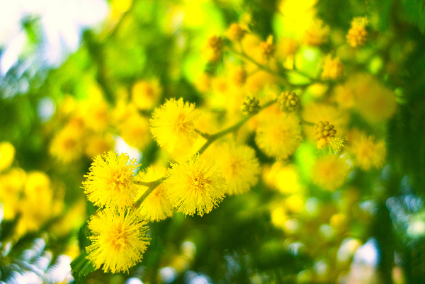 Mimosaa splash of yellow in your garden sarah raven mimosa flickr supercoco mightylinksfo