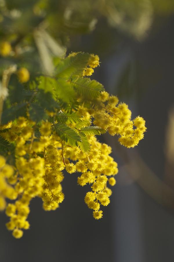 Mimosa, Flickr TommyHAGA