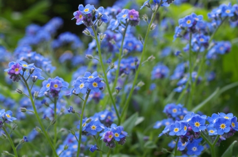Blue Forget-me-nots via Flickr