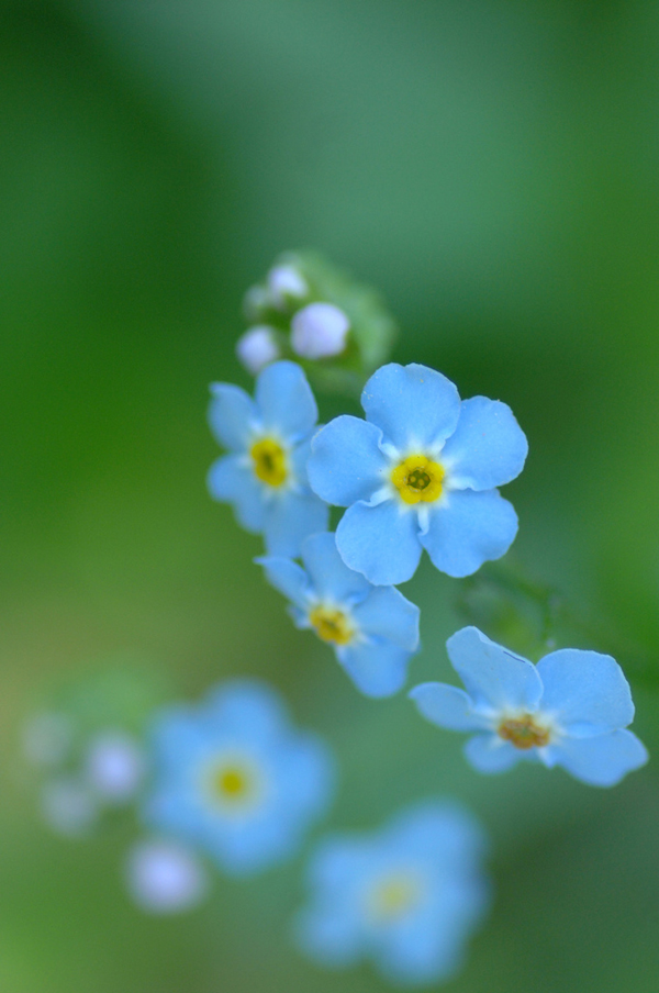 Light blue forget-me-not, Flickr postbear