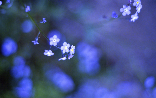 Forget-me-nots, Flickr TearShade
