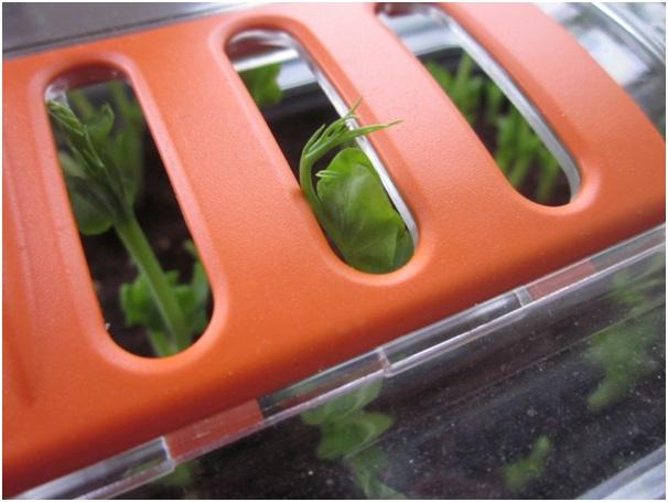 Growing Salad Leaves Indoors