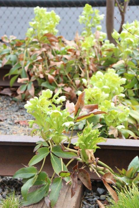 Hellebores on the High Line in New York City