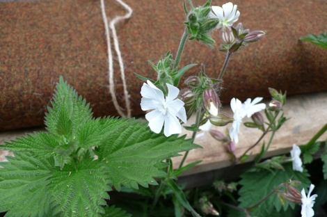 White campion and nettle