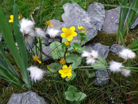 Cotton grass and marsh marigold