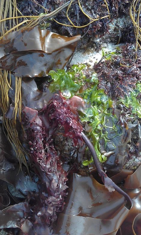 Seaweed Cornucopia
