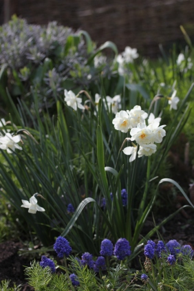 Narcissi underplanted with Muscari (Grape Hyacinths)