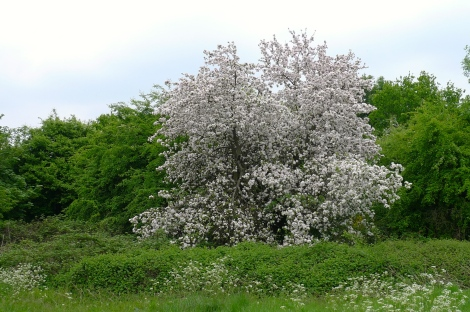 Apple trees growing near blackberry bushes