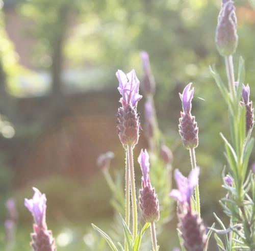 Lavender in my garden
