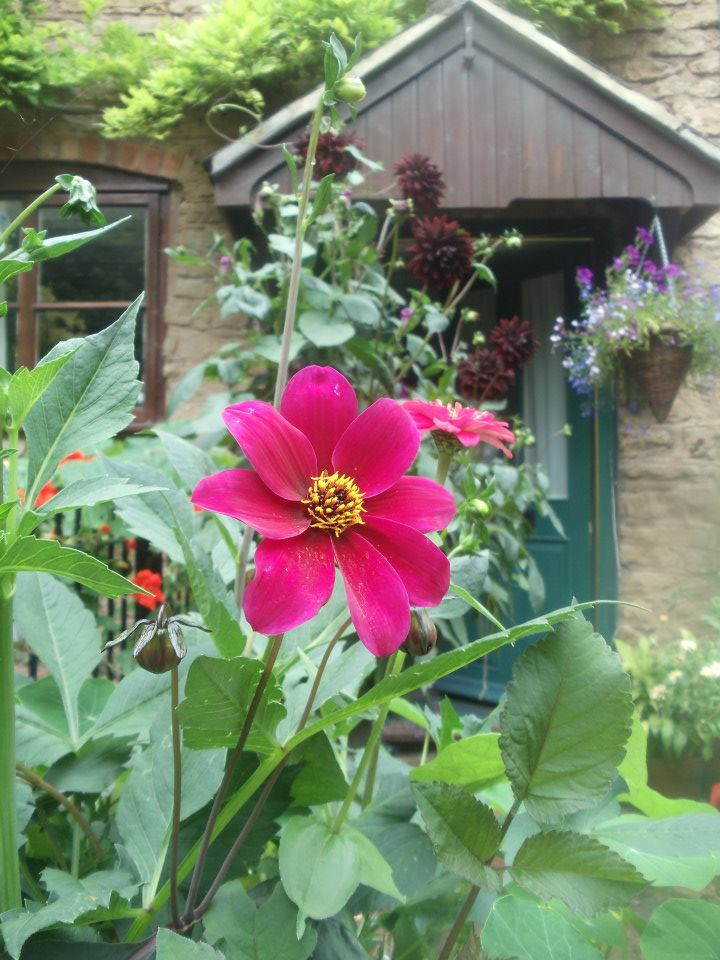 Dahlias flowering in August
