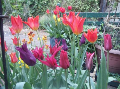 Tulips planted in a Bulb Lasagne