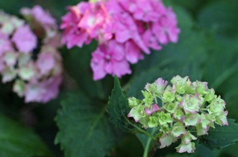 Hydrangea - flower meaning is heartfelt emotion or boastfulness
