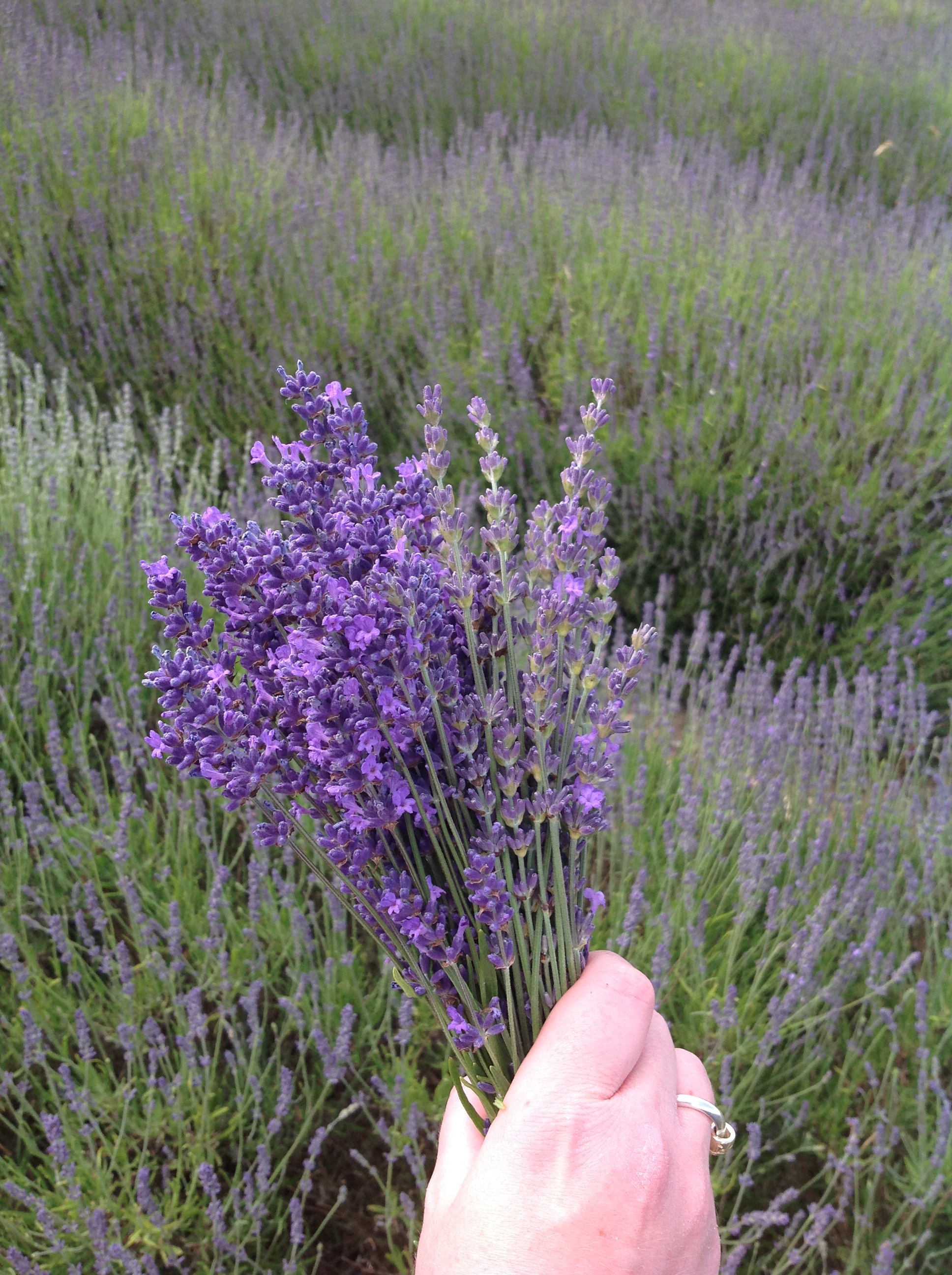 Handpicked Lavender