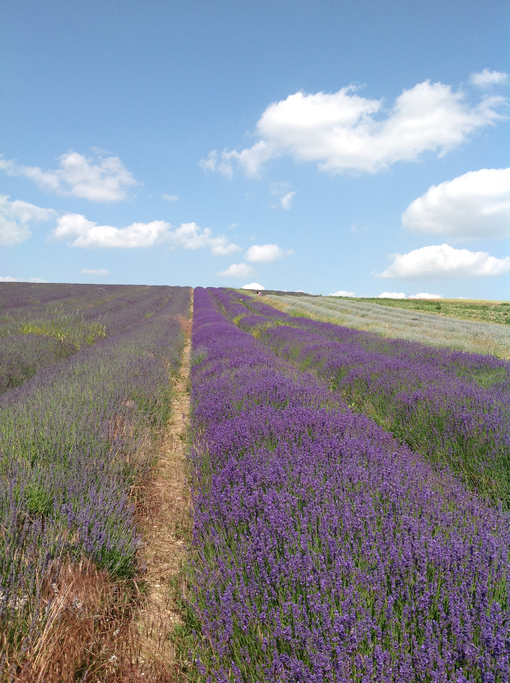 Lavender fields in Hitchin