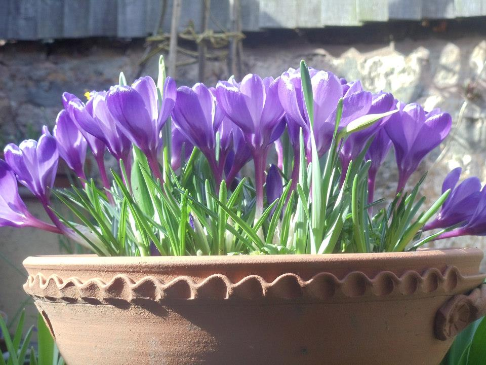 Crocus in a container