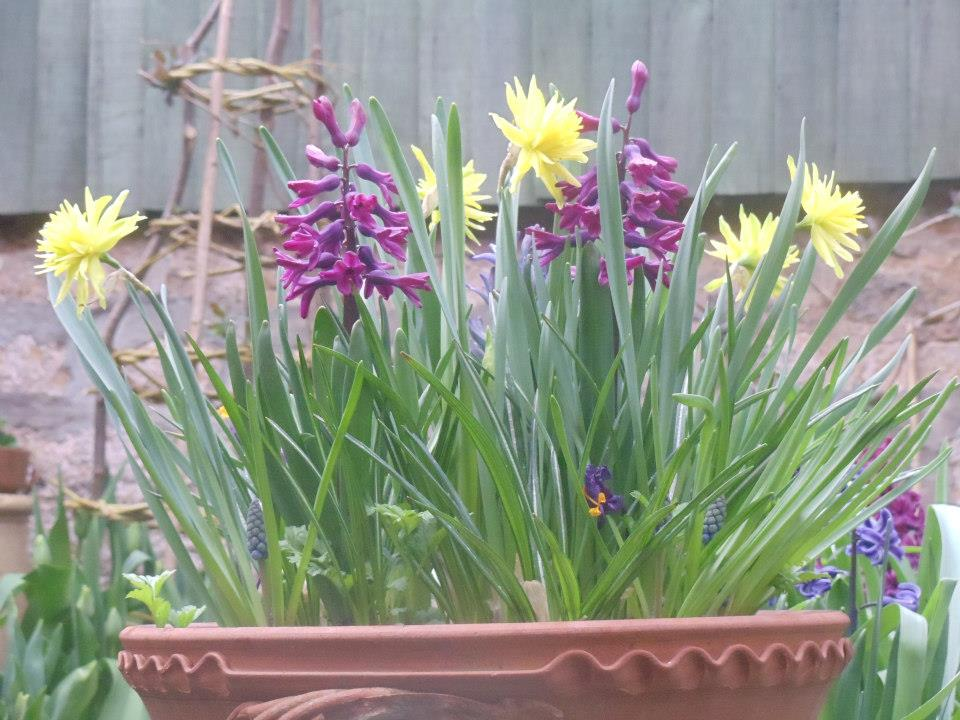 Hyacinth 'woodstock' with Narcissi 'Rip van winkle'