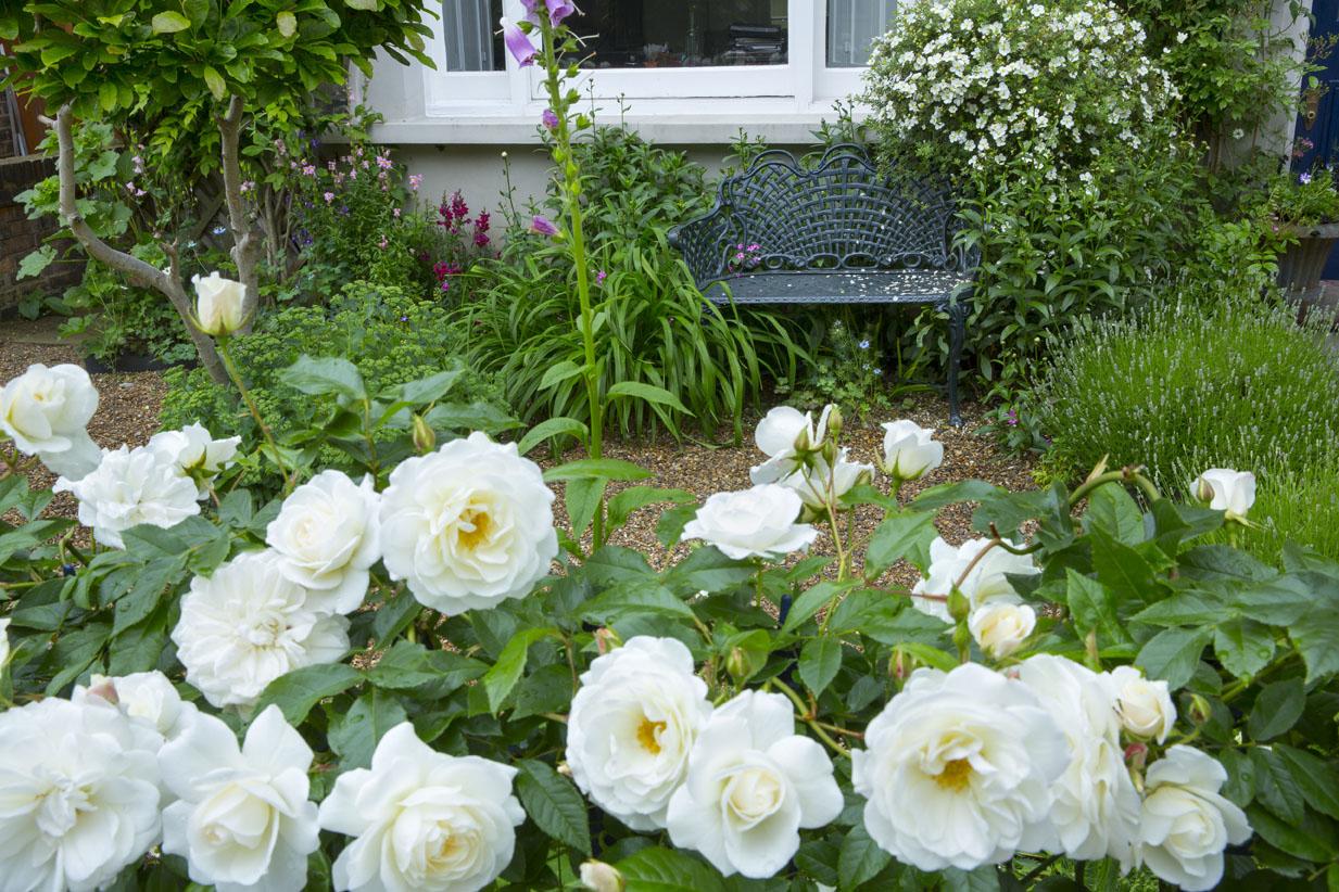 Plants for a north facing garden - Rosa Climbing Iceberg From My Front Garden North Facing