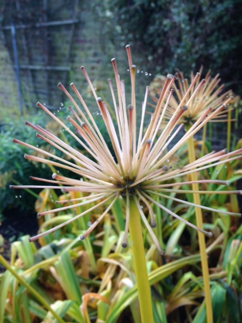 Agapanthus seedhead
