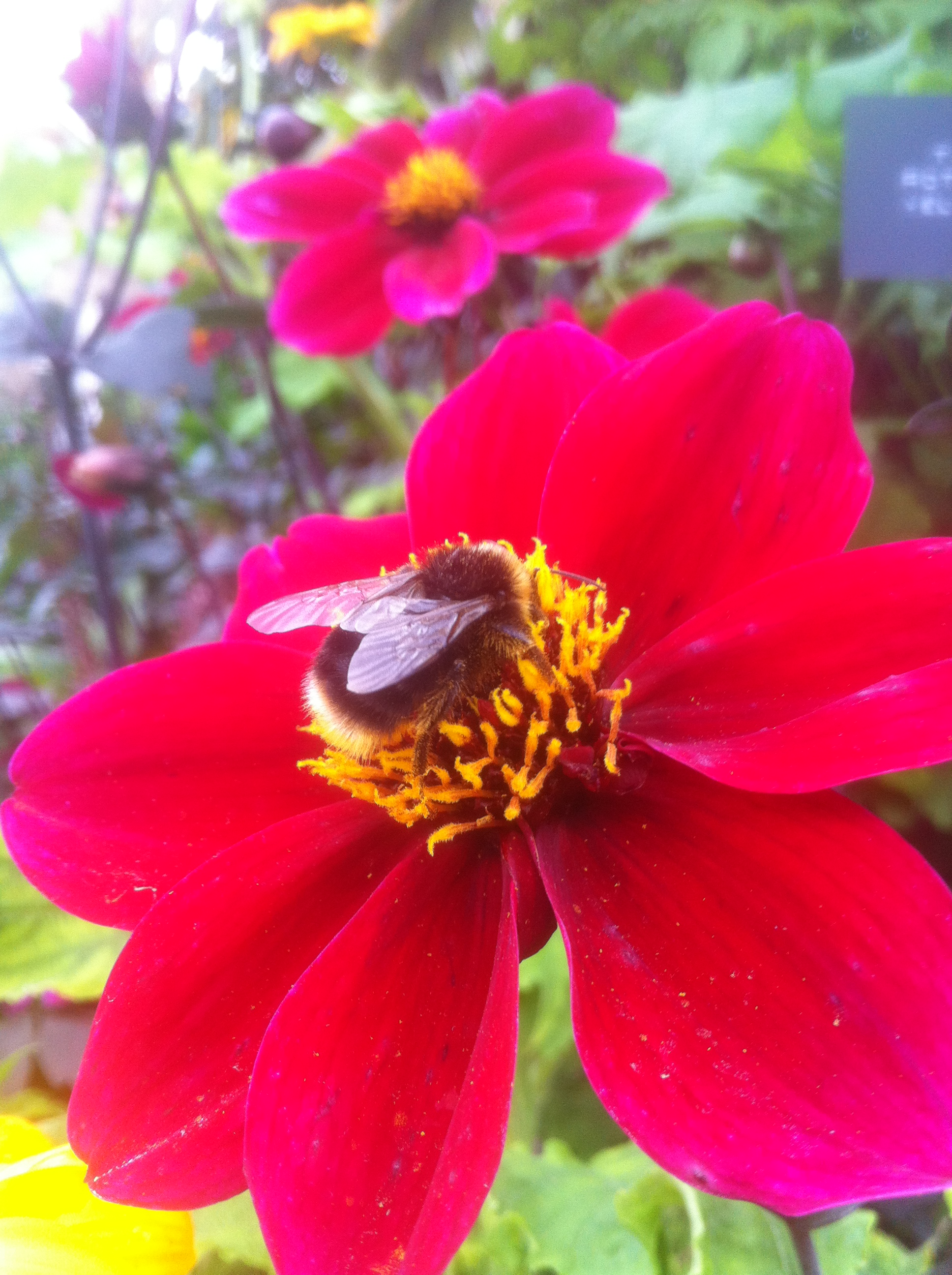 Dahlia Roxy with bumble bee
