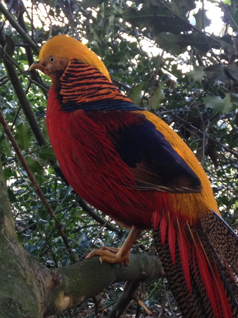 Male Golden Pheasant