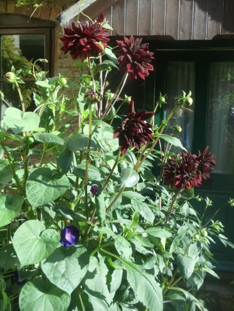 Sam Hopkins Dahlia with ipomoea