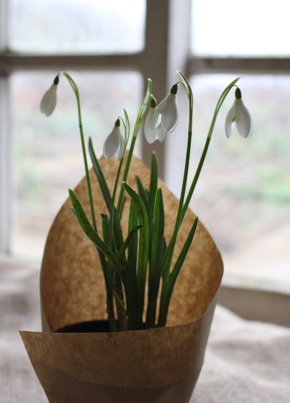 Snowdrops in paper and pot