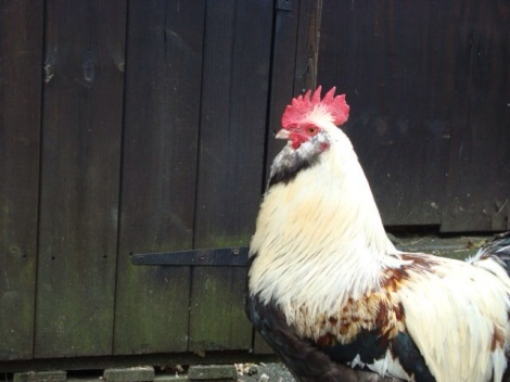A salmon faverolle rooster  - a French breed- guards his hen house!