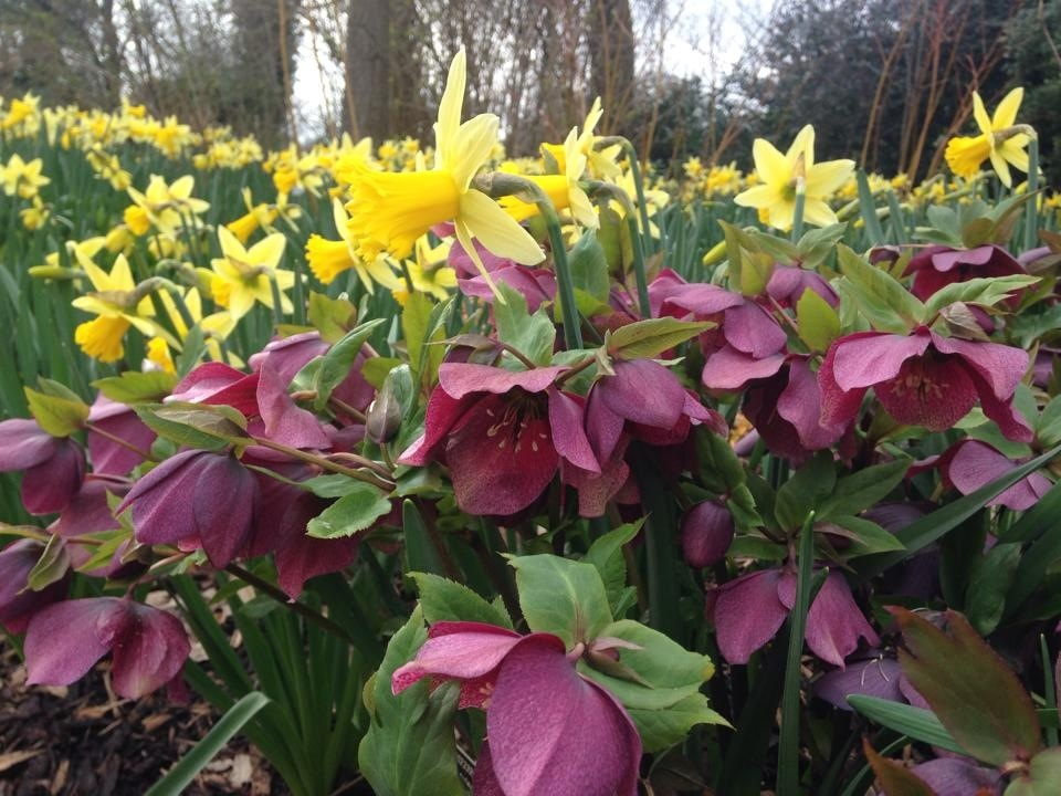 Daffodils and Hellebores